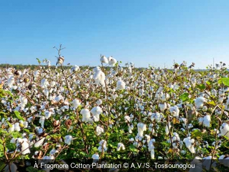À Frogmore Cotton Plantation A.V./S. Tossounoglou